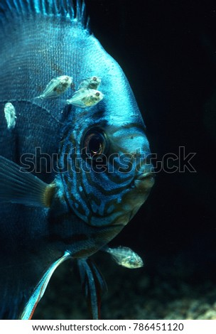 Discus fish feeding offspring fry from slime produced off its body #786451120