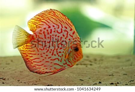 Shutterstock Discus fish in Aquarium