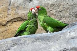 Discussion of two Cordilleran parakeets (Psittacara frontatus)