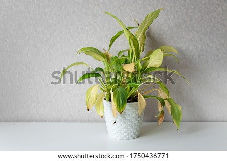 Disease houseplant. Wilting home flower Spathiphyllum in white pot against a light wall. Home green plant. Concept of home plant diseases. Abandoned home flower