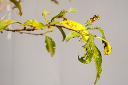 diseases and pests damaged leaf plums and pears