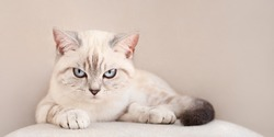 Disgruntled beige striped  blue eyed scottish cat lies with angry look