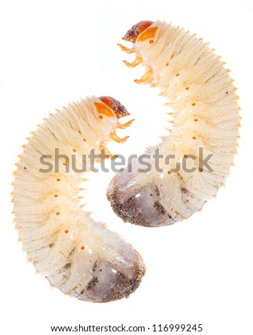 Disgusting fatty worm ( The cockchafer worm ). Dangerous pest in garden and great fish-bait for all fresh water fish.