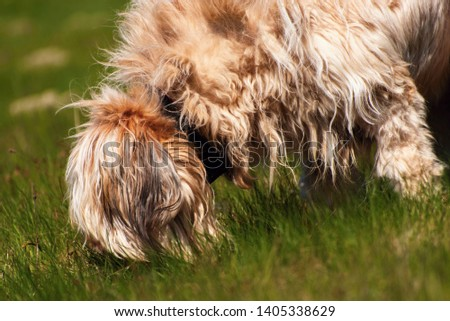 Disheveled dog briard (french shepherd) with tawny long hair sniffles in the grass in the pasture. #1405338629