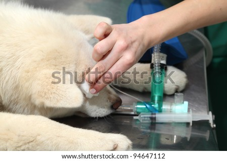 Disinfection of dog eye and eyelid  before veterinarian surgery
