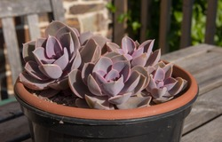Display of Fleshy Leaved Pink Succulent Plants (Echeveria 'Perle von Nurnberg') Growing in a Plastic Flower Pot on a Table Top in a Country Cottage Garden in Rural Devon, England, UK