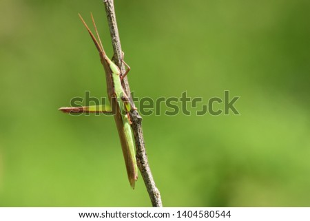 Display of green grasshoppers that live in the wild. Unique grasshopper - wildlife photography. #1404580544