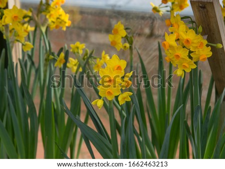 Display of Winter Flowering Bright Yellow Daffodils (Narcissus 'Grand Soleil D'Or') Growing in Flower Pots in a Greenhouse in a Country Cottage Garden in Rural Devon, England, UK Photo stock ©