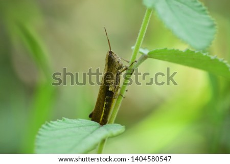 Display of wood grasshoppers that live in the wild. Unique grasshopper - wildlife photography. #1404580547