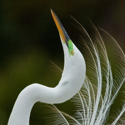 Displaying Great Egret, Kissimmee, Florida.