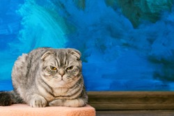 Displeased Scottish fold cat on the background of a colored blue wall. Gray scottish fold cat close-up. Displeased expression of the muzzle. Copy space