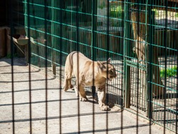 Dissatisfied cougar walking in the cage.