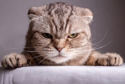 Dissatisfied Scottish Fold cat is on the table and angrily looks at the camera. Close-up.