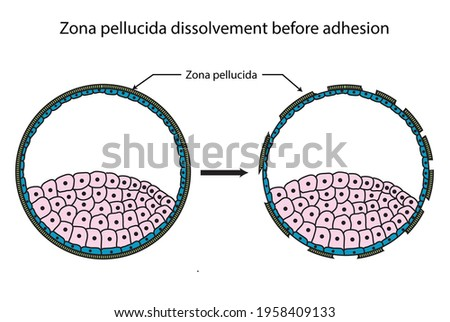 Dissolvement of zona pellucida before the adhesion and implantation, diagram Foto stock ©