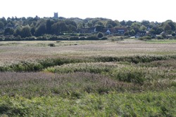 distant image of large reed bed or rush bed in Norfolk UK.