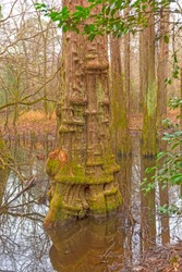 Distinctive Cypress Tree Trunk in the Wetland Forest in Big Thicket National Preserve in Texas