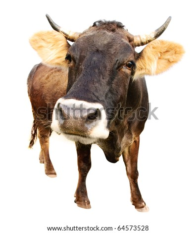 distorted brown cow isolated on white background