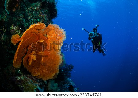 Diver and sea fan Melithaea in Banda, Indonesia underwater photo. The diver is taking picture of the gorgonian. #233741761