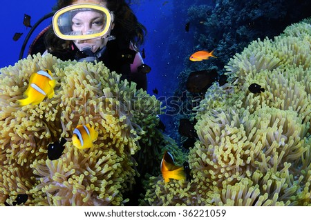 Diver enjoying anemonefishes - stock photo