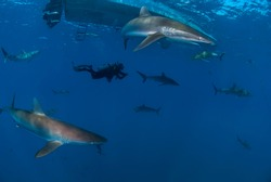 Diver swimming among a lot of silky sharks (Carcharhinus falciformis)