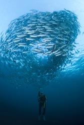 Diver with a camera, filming a huge school of Black Jacks, at the Liberty Wreck at Tulamben, Bali