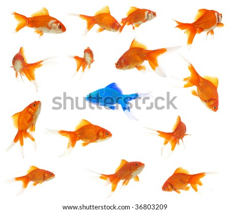 diversity concept with lots of goldfishes, and an alien goldfish inside