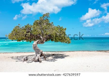 Divi divi tree on Aruba island in the Caribbean Sea Photo stock ©