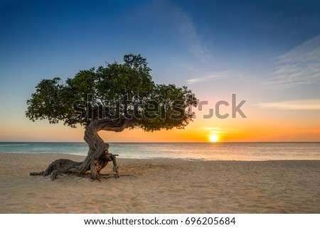 Divi-divi tree on Eagle Beach. The famous Divi Divi tree is Aruba's natural compass, always pointing in a southwesterly direction due to the trade winds that blow across the island Photo stock ©