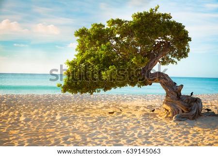 Divi Divi tree on the beach of Aruba Photo stock ©