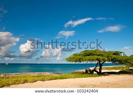 Divi-divi tree on the island of Aruba. Tropical sea beach. - stock photo