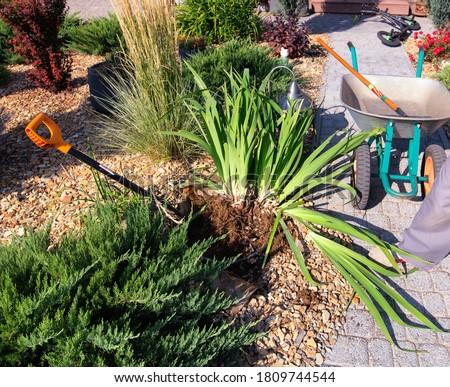 Dividing iris plant for replant. Garden shovel, wheel barrow, young juniperus and  shrubs. Gardening. Photo stock ©