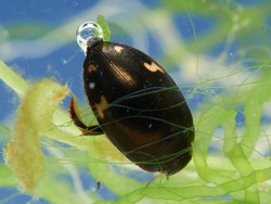 Diving beetle with an air bubble in a natural enviroment. Agabus didymus.