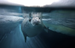 diving crabeater seal (Lobodon carcinophagus)