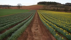 Division line in a field of yellow daffodils (narcissus) green plants brown road springtime Scotland farm rural agriculture countryside