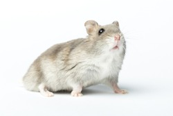 Djungarian hamster or Siberian dwarf on a white background. Latin name Phodopus sungorus. Concept most popular pets.