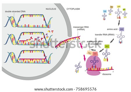 DNA transcription and translation are part of the gene expression. Ribosomes in the cytoplasm synthesize new proteins.