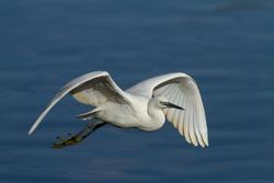 Doñana National Park, Spain, wading bird on the lagoon.