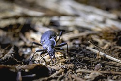 Do not be prejudiced to small creatures, it can be beneficial and harmless insect that keeps nature balance. One of them is the carabus beetle.