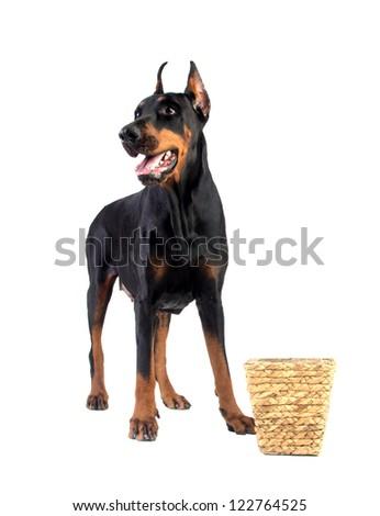 Doberman dog eating food from basket on white background