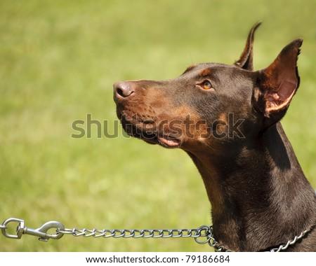 Doberman dog on a chain