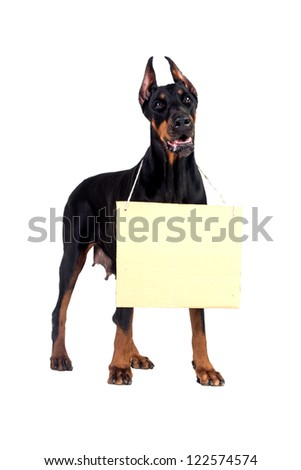 Doberman dog with clear cardboard isolated on white