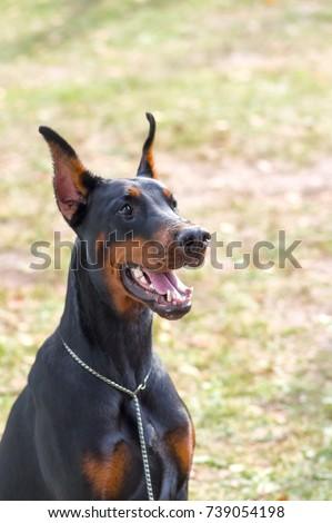 Doberman Pinscher dog close-up #739054198