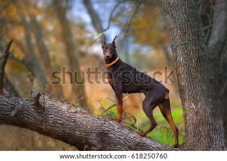 Doberman Pinscher dog standing on big tree brunch at autumn day #618250760