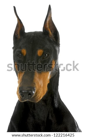 doberman pinscher head profile on white background