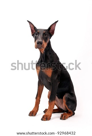 Doberman Pinscher (6 months old) in front of a white background