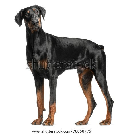 Doberman Pinscher, 13 months old, standing in front of white background