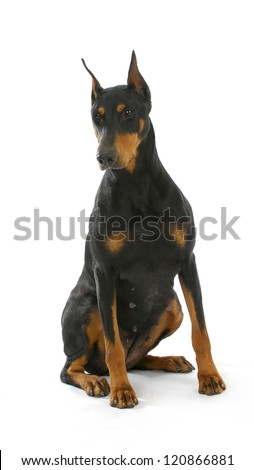 doberman pinscher sitting on white background - 3 years old female - stock photo