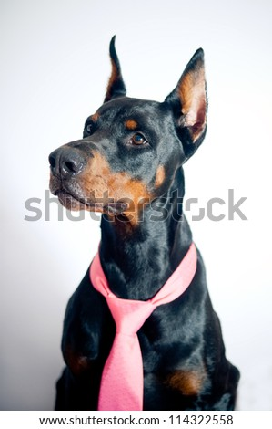 Doberman pinscher wearing pink tie on simple background