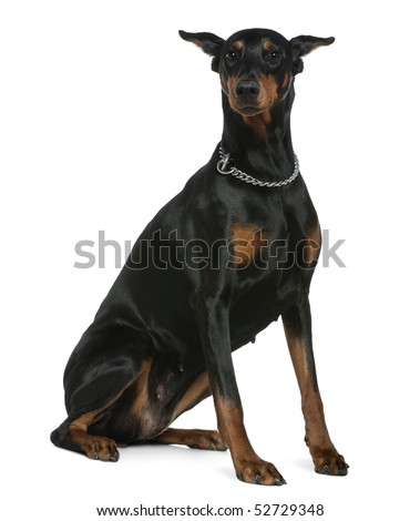 Doberman Pinscher, 7 years old, sitting in front of white background