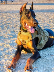 Doberman pup in tactical vest, smiling as sun warms his body outdoors at Heroes Park, Murrieta.